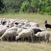Le troupeau de moutons de la ferme de Crameyrolles