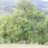 Le châtaignier : L'arbre à pain